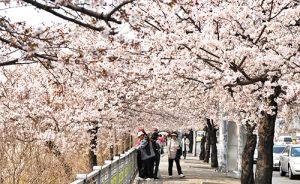 汝矣島桜祭り