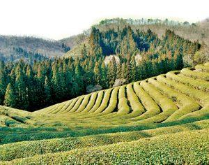 宝城緑茶、河東緑茶