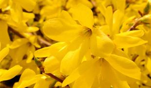 서울꽃 개나리