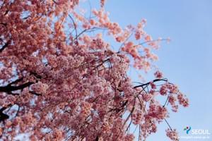 ソンパナル公園の桜