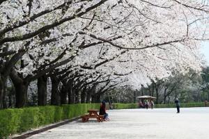 4月8日からソウル大公園桜祭り開催