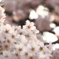 Cherry_Blossoms6