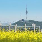 ハンガン(漢江)ソレ島菜の花祭り
