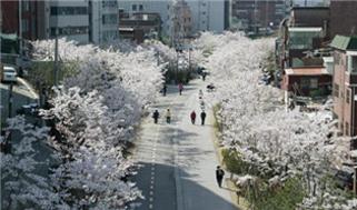 ソウルの美しい春の花道180選