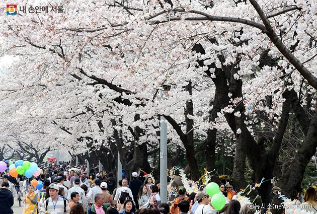 ヨイド(汝矣島)の春の花、週末のバス終発時間延長でゆったり楽しんでください!