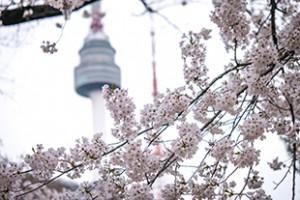 ナムサン(南山)の桜