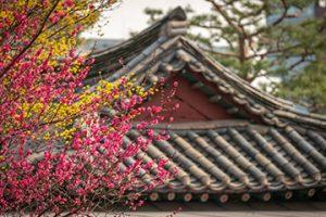 ポンウンサ(奉恩寺)の紅梅