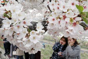 週末のバス終発時刻延長 ヨイド(汝矣島)の春の花、ゆったりとお楽しみください!
