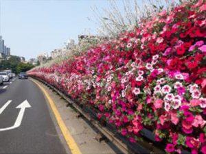 ソウル市、「春の花通り」でコロナブルーを癒やす