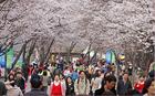 ソウルの春の花道100選
