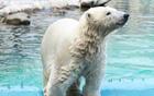 ロシアのホッキョクグマ2頭がソウルにやってくる