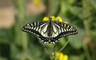 アゲハチョウを見にソウルの森・蝶々庭園へ行こう!