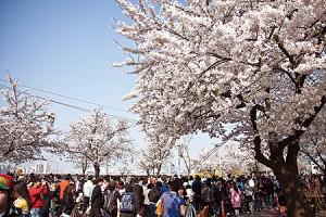 漢江・汝矣島春の花祭り